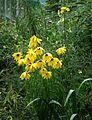 Helianthus salicifolius - Flickr - peganum.jpg