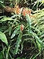 Heliconia angusta (BG Zurich)-01.JPG