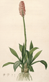 Helonias bullata Lil.png