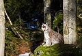 Herintroductie Lynx, voor de natuur, Saxifraga - Jan Nijendijk.IMG 4095.jpg