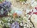 Hermit crab scuttling over corals underwater scenics landscape.jpg