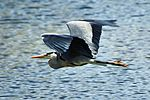 Heron - Lackford Lakes (26729230051).jpg