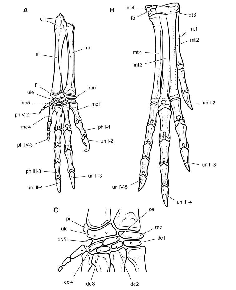 Heterodontosaurus manus and pes skeletal drawing sereno 2012