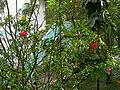 Hibiscus schizopetalus 0008.jpg