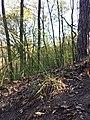 Hierochloe australis sl43.jpg
