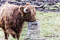 Highland cattle on peräisin Skotlannista. - panoramio (6).jpg