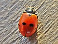 Hippodamia variegata (Coccinellidae) (Adonis' ladybird) - (imago), Lentse Waard, the Netherlands - 2.jpg