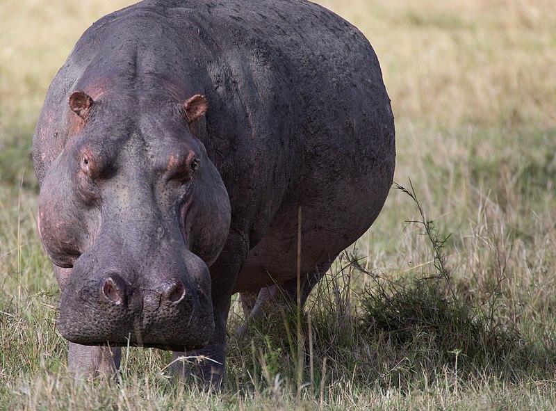 Hippopotamus feeding on grass