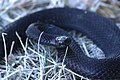 Hoggorm (Vipera berus) (4682145443).jpg