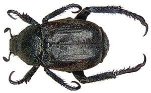 Monkey beetle - Hoplia philanthus