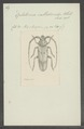 Hoplitocera - Print - Iconographia Zoologica - Special Collections University of Amsterdam - UBAINV0274 033 03 0006.tif