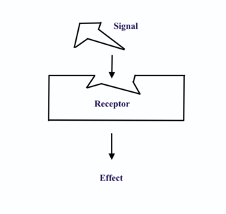 Hormone receptor - Signal molecule binds to its hormone receptor, inducing a conformational change in the receptor to begin a signaling cascade that will induce a cellular response.