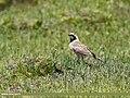 Horned Lark (Eremophila alpestris) (36801364620).jpg