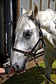 Horse drawn hearse horse City of London Cemetery 4 lighter.jpg