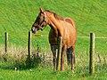 Horse east of Vernham Street, Hampshire - geograph.org.uk - 982488.jpg