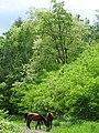Horses along Forest Path - Outside Furano - Hokkaido - Japan (48012228303).jpg
