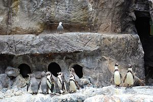 Humboldt penguin - in captivity at Brookfield Zoo