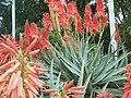 Hybrid aloe flowers, Roma Street Parklands, Brisbane, Australia - panoramio (3).jpg