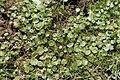 Hydrocotyle modesta - Palmar El Salto 002 (14290733000).jpg
