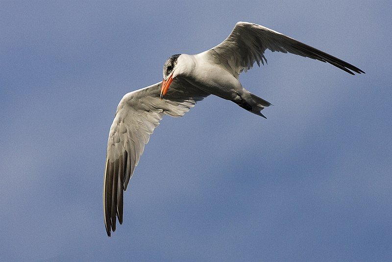 Bestand:Hydroprogne caspia in flight.jpg