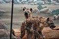 Hyenas (3456477290).jpg