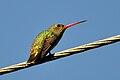 Hylocharis chrysura -Pelotas, Rio Grande do Sul, Brasil-8.jpg