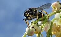 Hymenoptera diagonal.jpg