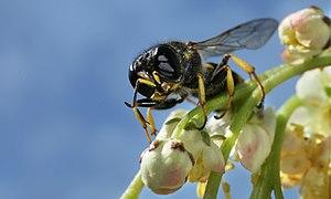 Digger wasp Ectemnius lapidarius