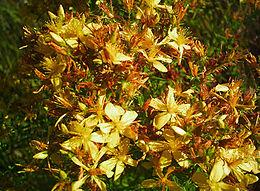 Sarı Kantaron Vikipedi