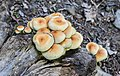 Hypholoma fasciculare in Haute-Savoie (1) 01.jpg