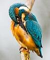 IJsvogel (Alcedo atthis).jpg