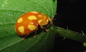 Prey detection - This ladybeetle (Calvia decemguttata) is easily spotted, but its conspicuous colors are a sign of its unpalatability, of which experienced predators will probably be familiar.