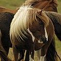 Icelandic horse 5.jpg