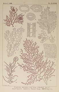 <i>Bonnemaisonia hamifera</i> species of alga