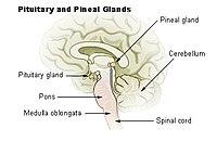 Illu pituitary pineal glands.jpg