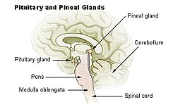 Illu pituitary pineal glands.jpg
