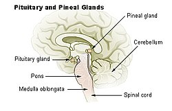 pineal gland - wikipedia, Sphenoid