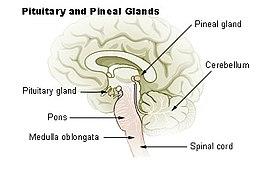 Epifyse in de hersenen