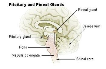 nombre de las glandulas y sus funciones
