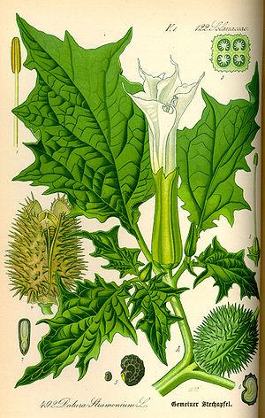Image result for धतूरा के फल, फूल और पत्तियों