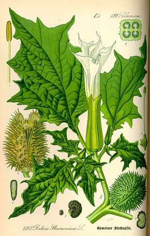 Illustration Datura stramonium0.jpg