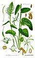 Illustration Phyteuma spicatum0 cleaned.jpg