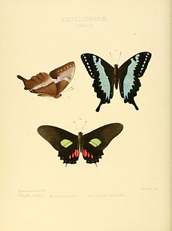 Illustrations of new species of exotic butterflies Papilio XV.jpg