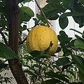 Imperial lemon at Kew Gardens.jpg