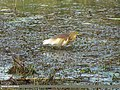 Indian Pond Heron (Ardeola grayii) (15271430614).jpg