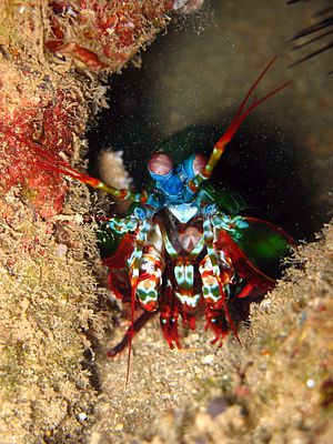 A colorful image of a Stomatopod crustacean, a...