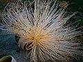 Inflorescencia de Sibucara (Pseudobombax septenatum).jpg