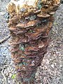 Inonotus radiatus 58692438.jpg
