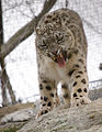 Intense Snow Leopard (6916714332).jpg
