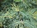 Inviting us to touch - Wattle Branch - panoramio.jpg